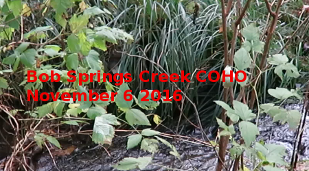 Link to Bob Springs Creek Coho November 6 2016 Video