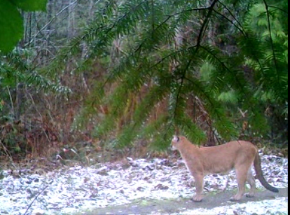 Link to Wilfred Creek Cougar Video